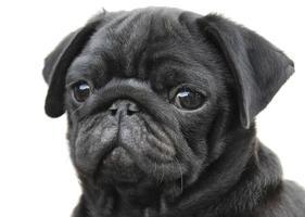 bébé chien carlin noir foto