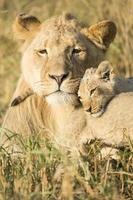 afrikansk manlig lejon och gröngöling (Panthera leo) Sydafrika foto