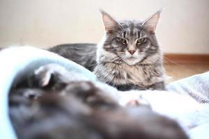 blå maine coon katt som ligger på golvet foto