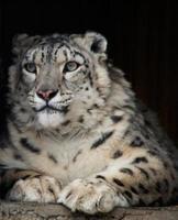 irbis eller snöleopard foto