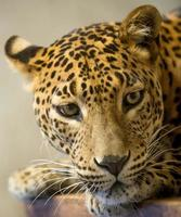 leopards huvud foto