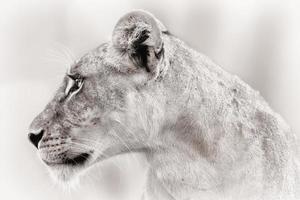 närbild av en lejoninna i samburu national reserve, kenya foto
