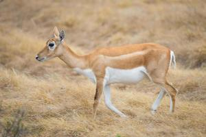 vild antilop doe foto