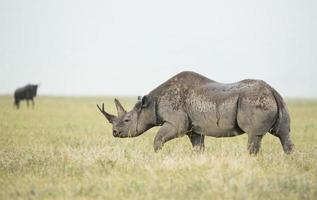 svart noshörning (diceros bicornis) i Tanzania foto