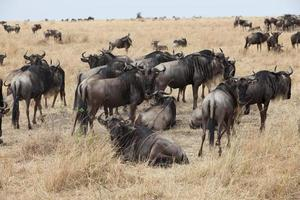 gnuer på masai mara, kenya foto