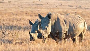stor och liten noshörning