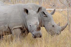 vit noshörning kruger park foto