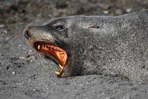 antarktisk pälssäl som visar tänder, antarktis foto