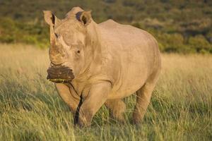 vit noshörning foto