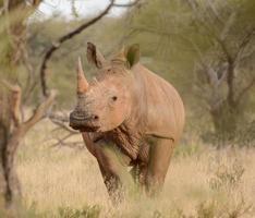 vit noshörning porträtt 2 foto