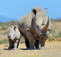 afrikansk vit noshörning foto