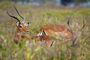 impala bland rosa bladverk foto