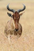 kongoni eller hartebeest i serengeti gräsmarker foto
