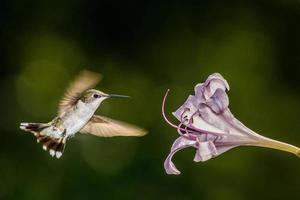 hummingbrid