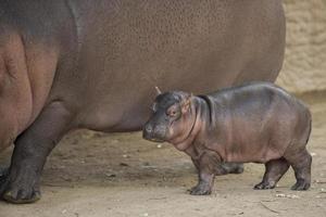 nyfödd flodhäst foto