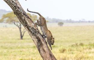 leopard som klättrar nerför ett träd foto