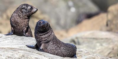 två nya zeeländska pälssälar (arctocephalus forsteri) foto