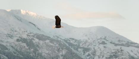 flygande skallig örn. foto