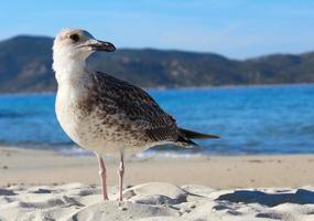 seagulls foto