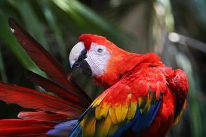 röd papegoja foto