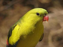 regent papegoja foto