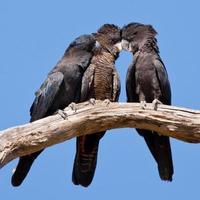 rödsvansad svart kakadua, calyptorhynchus banksii, familj foto