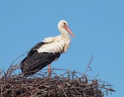 vit stork i boet (ciconia ciconia) foto