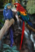 ara papegojor foto