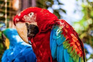 röd ara eller ara cockatoos papegoja närbild foto