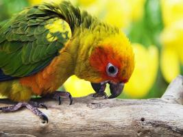 sun conure fågel i trädgården foto