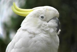 svavel-krönad kakadua foto
