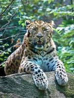 amur leopard (panthera pardus orientalis) foto