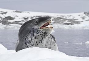 leopardtätning som ligger på en isflak foto