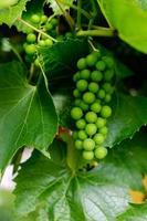 gren av gröna druvor på vinrankan i vingården. foto