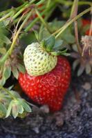 jordgubbar fiels för evigt foto