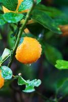 litet orange träd