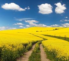 fält av raps med lantlig väg och vackra moln