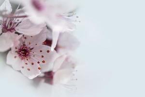våren körsbär blommar