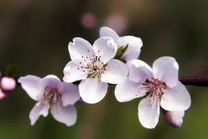 rosa blomma på våren foto