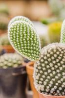 närbild av opuntia kaktus foto