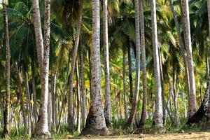 kokosnötsträd foto