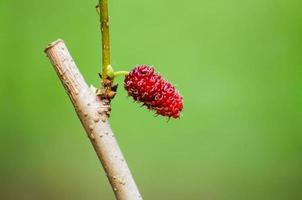 mullbärsträd foto