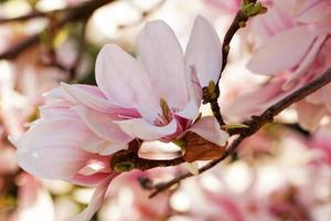 magnoliaträd foto