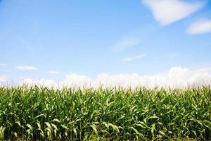 majsfält foto