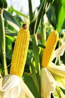 majs i fältet foto