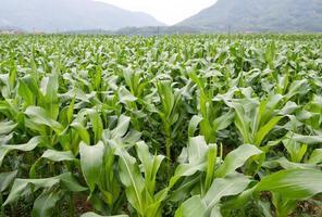 grönt majsfält foto