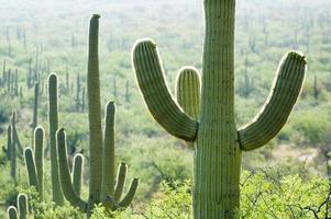 fält av kaktus foto