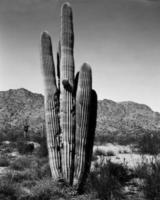 öken saguaro foto