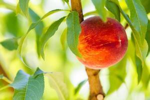 persikor foto