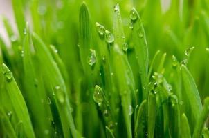 vete gräs foto